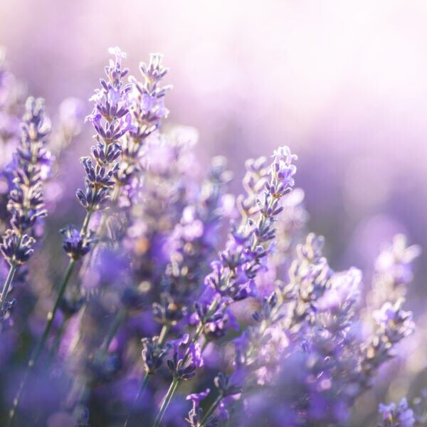 Close-up view of Lavender in Provence, France